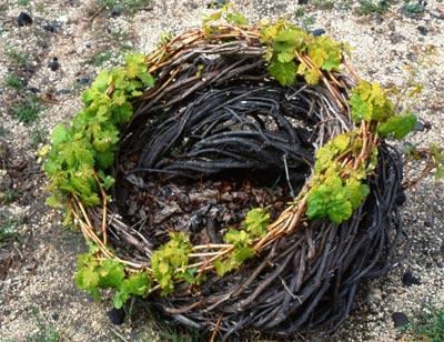 santorini-assyrtiko-grapes